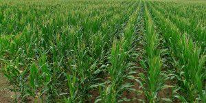 corn-week-11-004